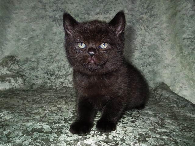 Сумрак - черный британский котик
