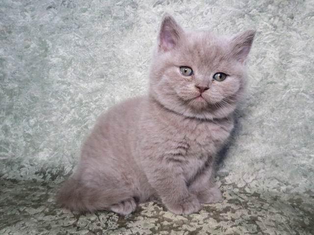 Саймон - лиловый британский котик