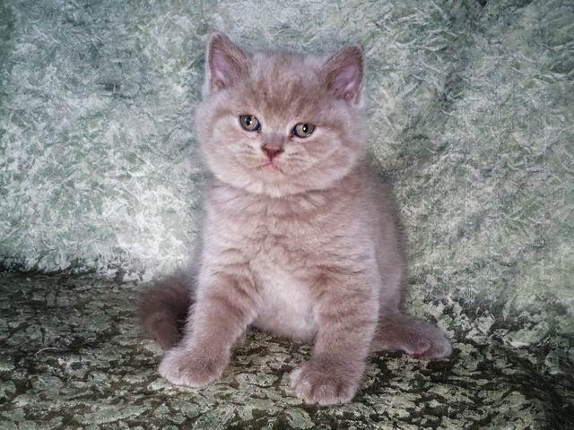 Симба - лиловый британский котик