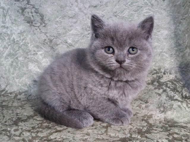 Стелла - голубая британская кошечка