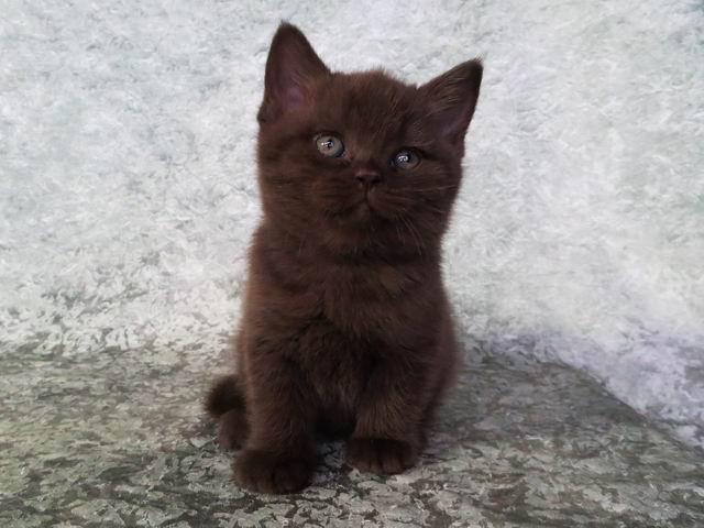 Стефани - шоколадная британская кошка
