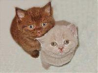 Британские котята, шоколадный и лиловый