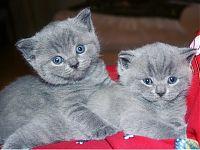 Британские котята Арчибальд и Алиса