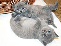 Британские голубые котята