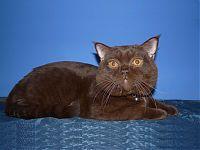 Шоколадный британский кот Армани - сын Артура