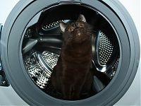 Шоколадная британская кошка Кеника